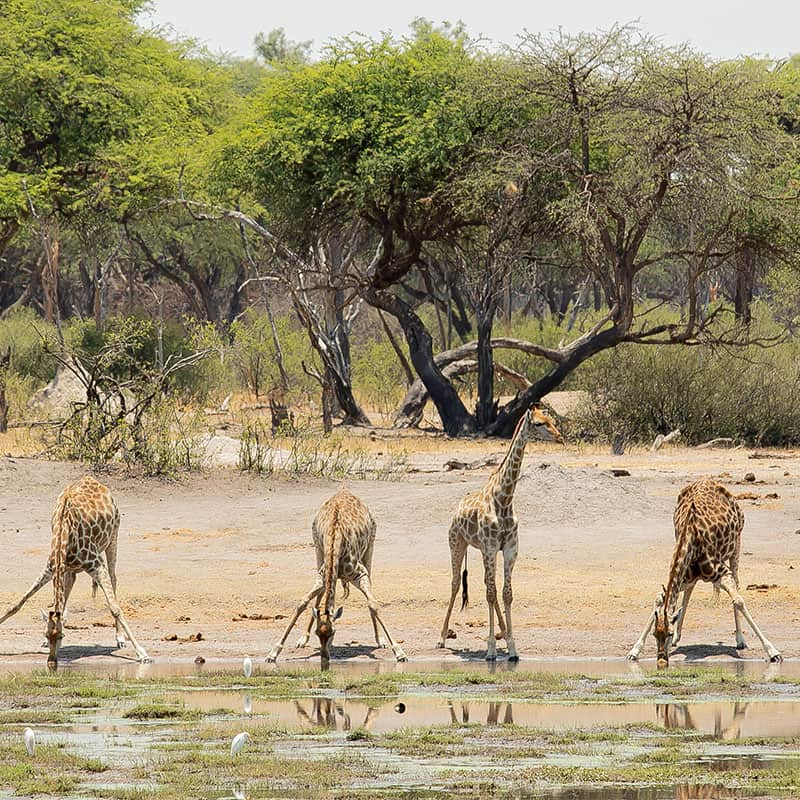 The Hide Giraffes