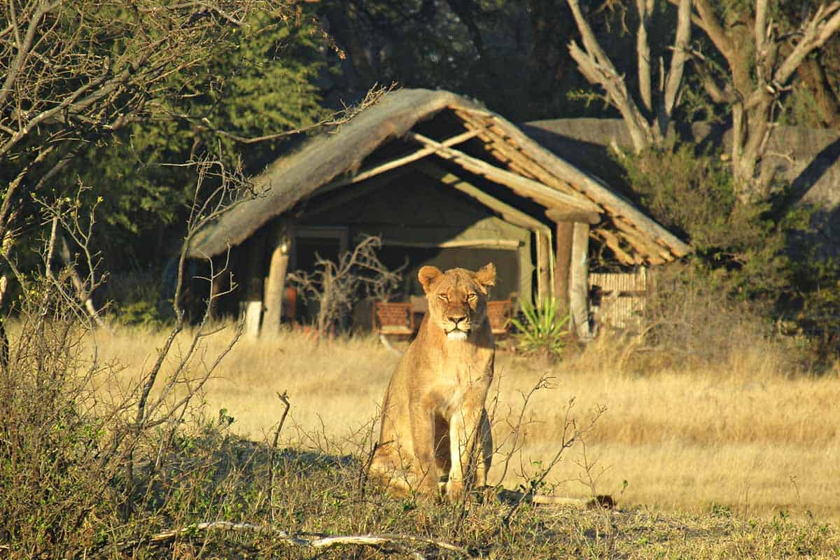 Lions The Hide Hwange 2