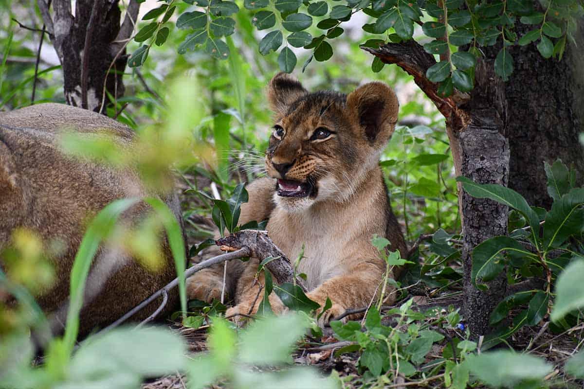 Lions The Hide Hwange 3