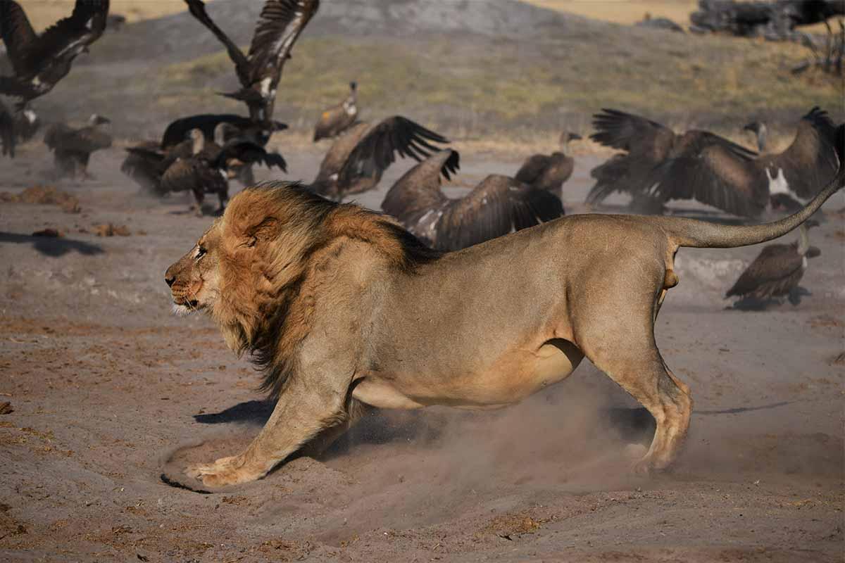Lions The Hide Hwange 4
