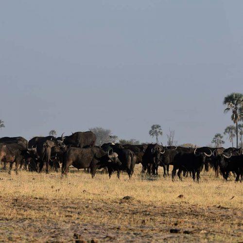 Dry Season The Hide Buffalo