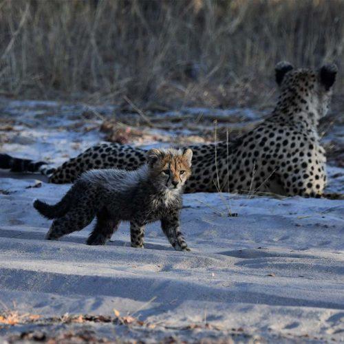 Dry Season The Hide Cheetah