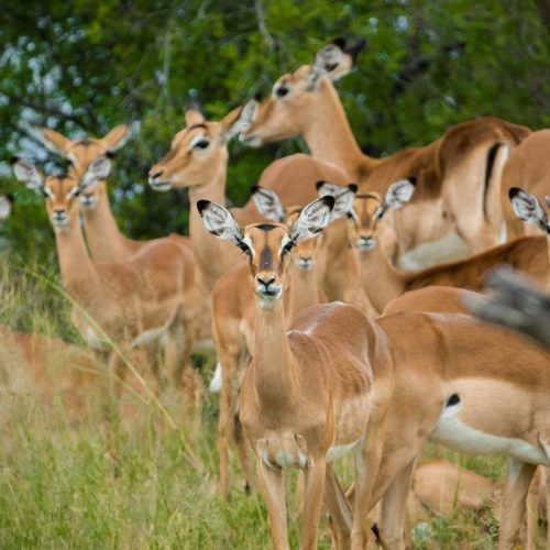 Green Season The Hide Impalas