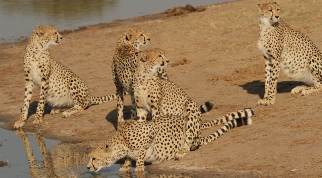 The Hide Cheetah Sightings