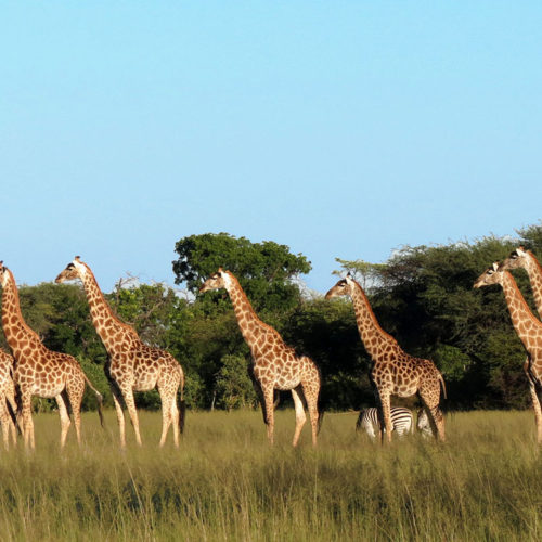 Giraffes At The Hide