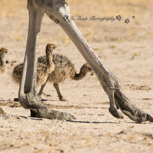 The Hide Ostrich
