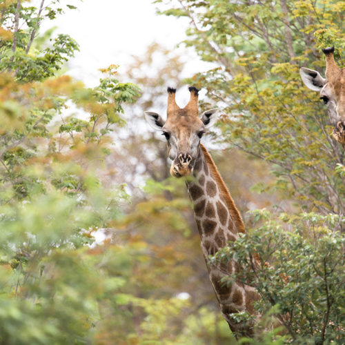 The Hide Giraffe