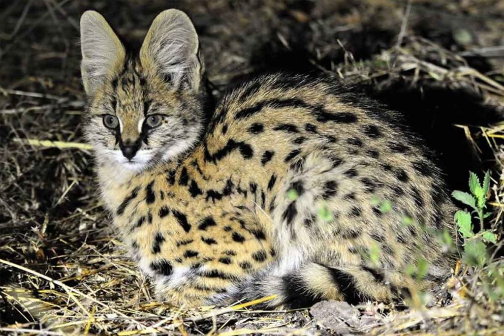 Serval Bush Cat Hwange National Park