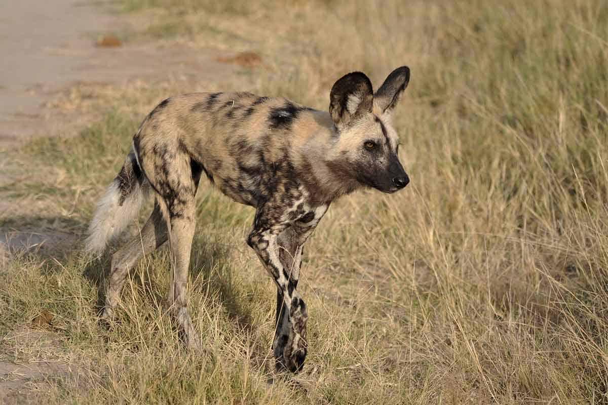 Wild Dog The Hide Hwange National Park