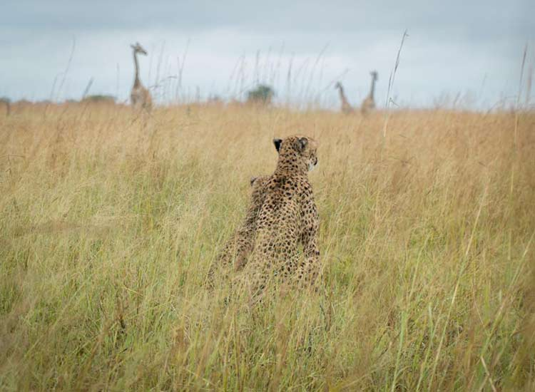 Cheetah and Giraffes - Photo Credit Cian DH