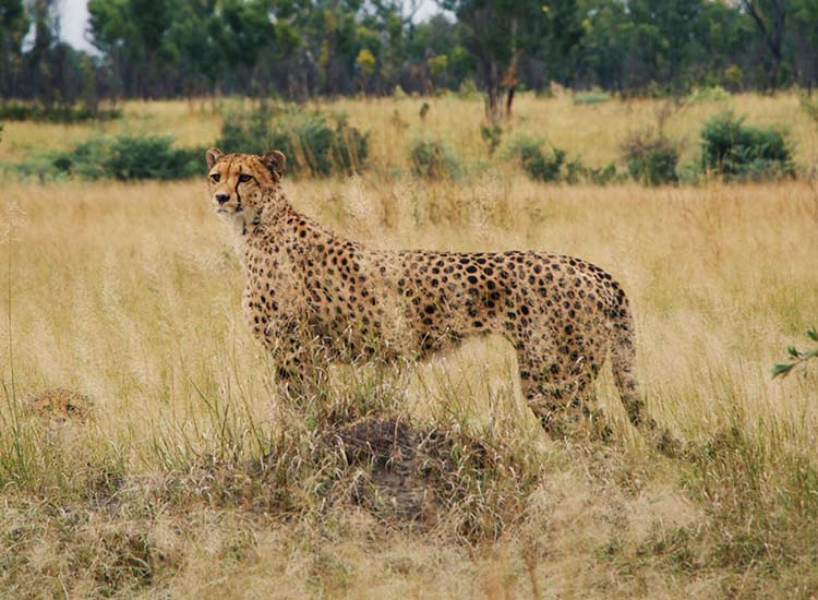 Cheetah Hwange National Park - Cian DH