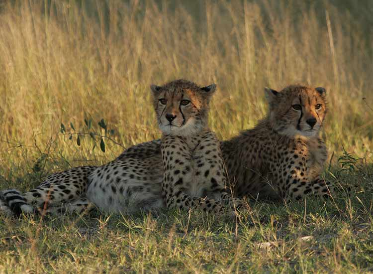 Cheetahs - Photo Credit - Pam