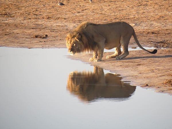 Lion at waterhole - photo by Jeremy Pagden