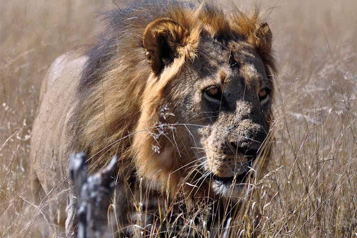 Lions The Hide Hwange 6