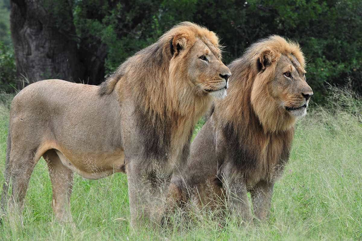 Lions The Hide Hwange 7