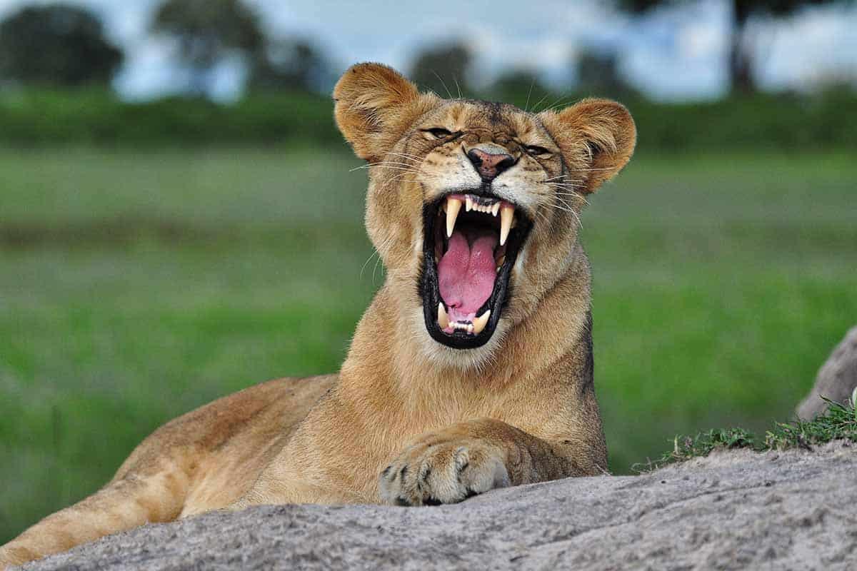 Lions The Hide Hwange