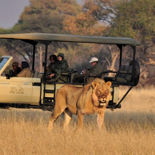 Game Drive The Hide Male Lion